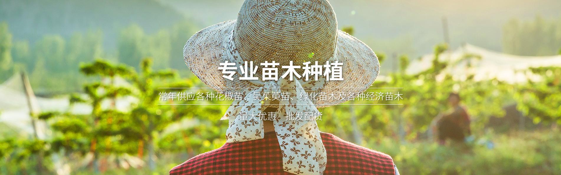 重庆吴茱萸苗批发