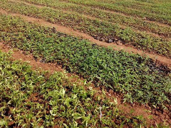 吴茱萸种植基地