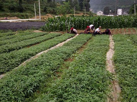 九叶青种植基地