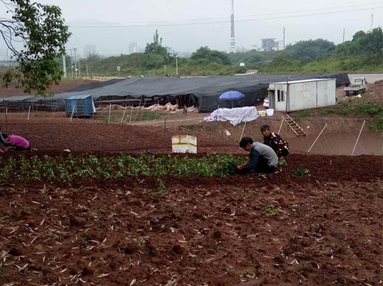 吴茱萸苗播种